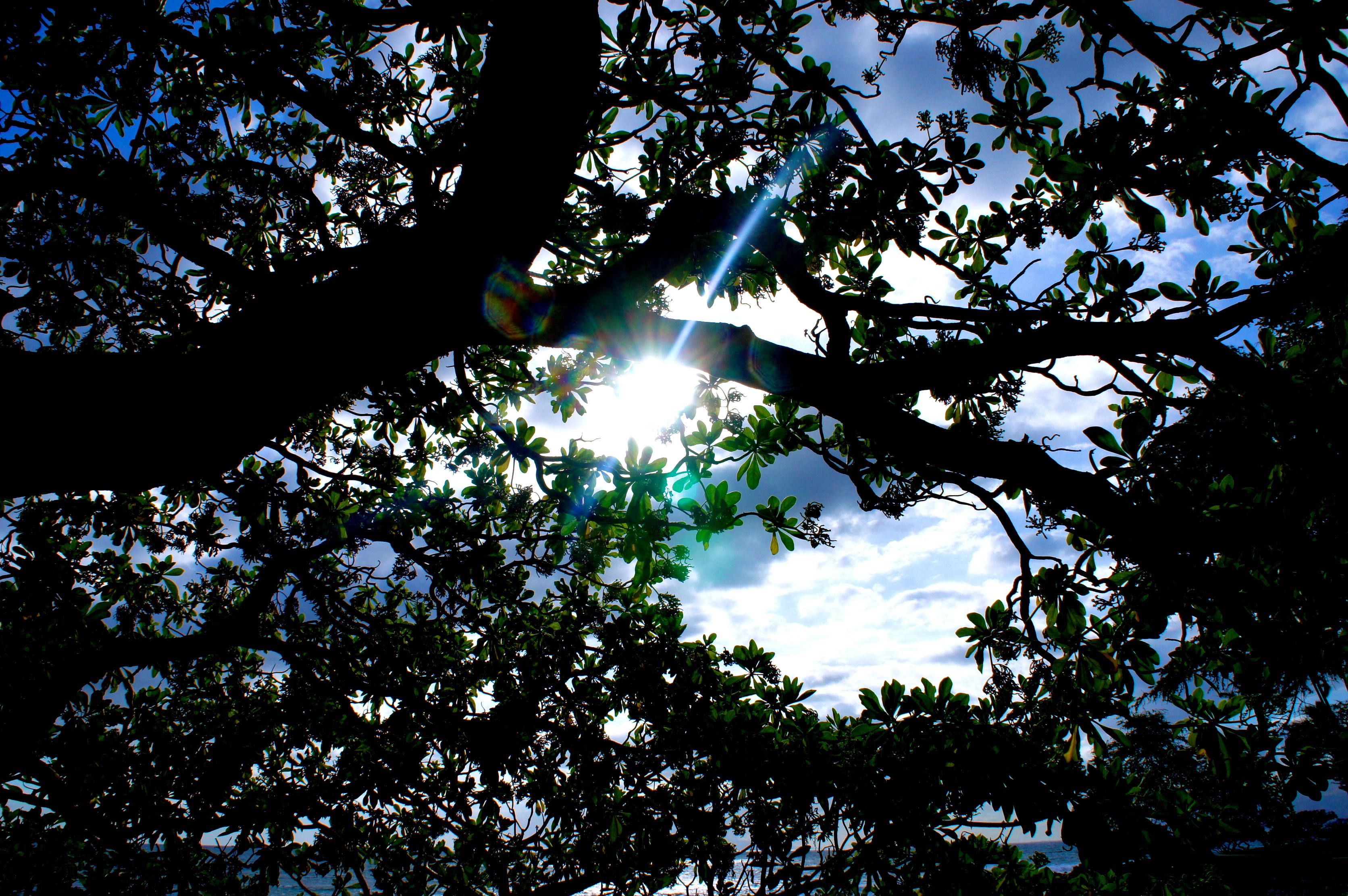 Hawaiian Sun Thought theTrees